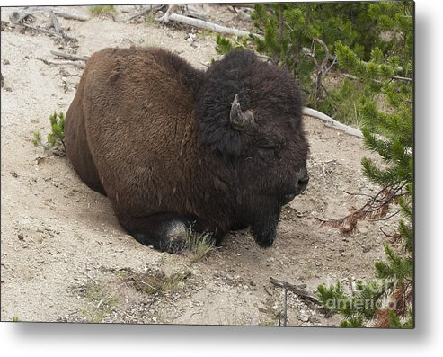 Bison Metal Print featuring the photograph Male Buffalo At Hot Springs by Belinda Greb