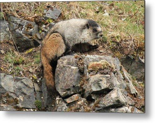 Marmot Mammals Alaska Metal Print featuring the photograph Marmot 1 by Rick and Dorla Harness