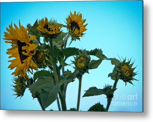 Sunflower Metal Print featuring the photograph Morning Sunflowers by Cheryl Baxter