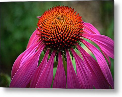 Flower Metal Print featuring the photograph Pink Coneflower by M Hess