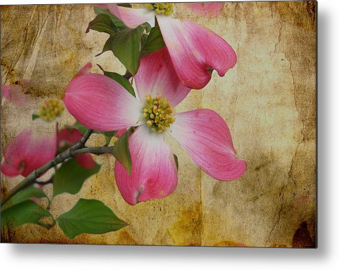 Pink Dogwood Bloom Metal Print featuring the photograph Pink Dogwood Bloom by Todd Hostetter