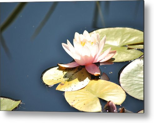 Flower Metal Print featuring the photograph Pink Waterlily by Paulina Roybal