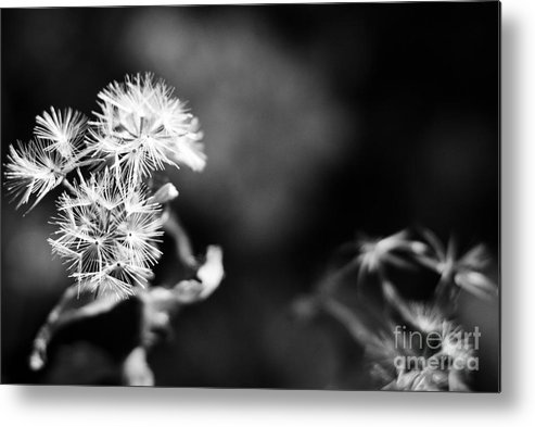 Dandelions Metal Print featuring the photograph Pinwheels by Barbara Shallue