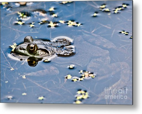Frog Metal Print featuring the photograph Pond Dweller by Cheryl Baxter