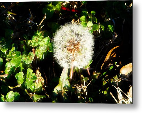 Dandelion Metal Print featuring the photograph Poof I Will Be Gone by Michelle Hunter