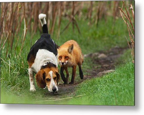 Animals Metal Print featuring the photograph Probably The World's Worst Hunting Dog by Mircea Costina Photography