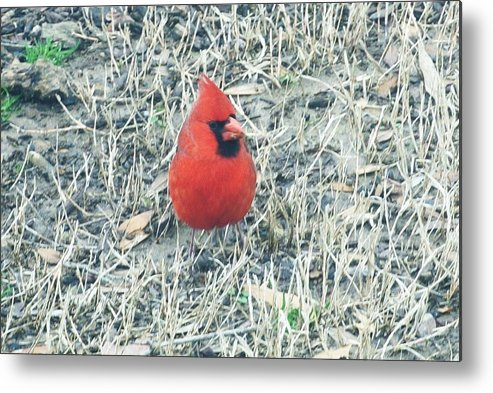 Red Cardinal Metal Print featuring the photograph Red Cardinal by Nida Chioco