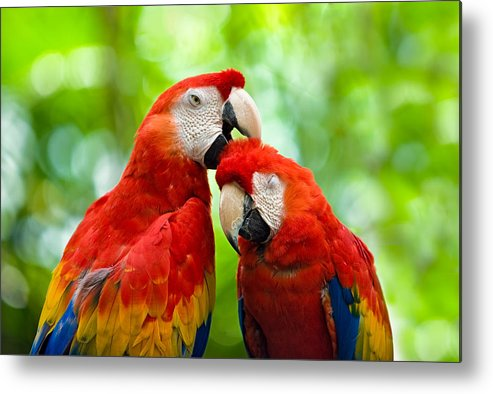 Scarlet Macaw Metal Print featuring the photograph Scarlet Macaws by Chuck Underwood