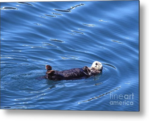 Sea Otter Metal Print featuring the photograph Sea Otter by Thomas R Fletcher