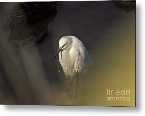 Snowy Egret Metal Print featuring the photograph Snowy Egret by Howard Stapleton