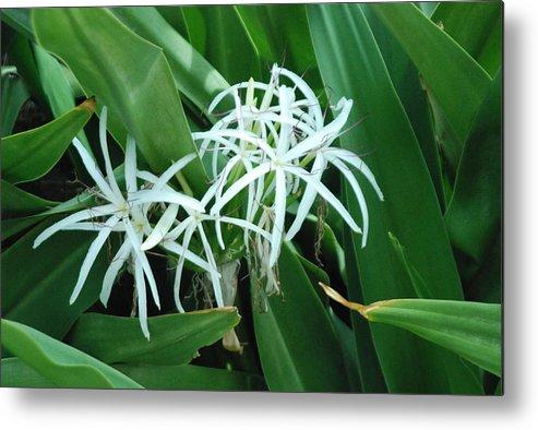 Flower Metal Print featuring the photograph Spider Flower In Sint Maarten by Glenn Aker