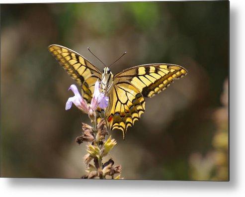 Papilio Machaon Metal Print featuring the photograph Swallowtail by Meir Ezrachi