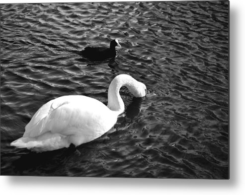 Black Metal Print featuring the photograph Swan by AR Harrington Photography