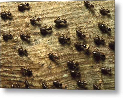 Feb0514 Metal Print featuring the photograph Termites On Wood With One Carrying by Konrad Wothe