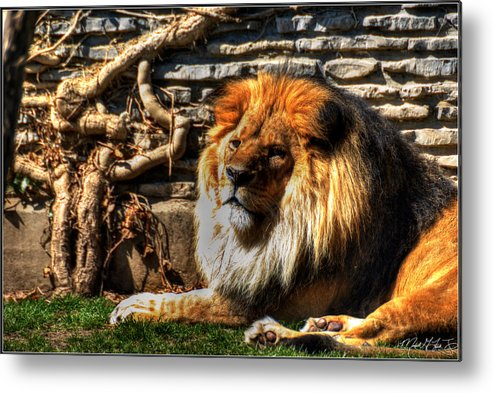Lion Metal Print featuring the photograph The King Lazy Boy At The Buffalo Zoo by Michael Frank Jr