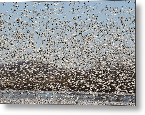 Snow Geese Metal Print featuring the photograph Thousands Of Snow Geese by Crystal Wightman