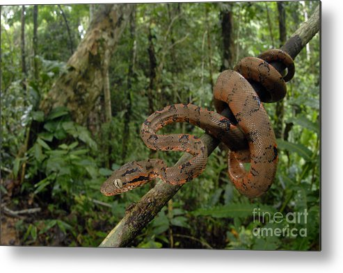 C. Enydris Metal Print featuring the photograph Tree Boa by Francesco Tomasinelli