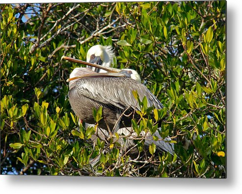 Pelican Metal Print featuring the photograph Two Brown Pelicans by Denise Mazzocco