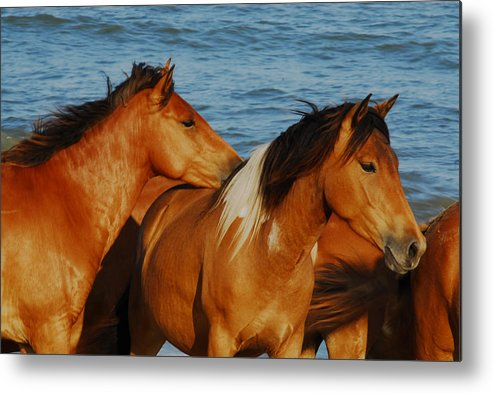 Assateague Park Maryland Usa Metal Print featuring the photograph Wild Horses by Will Burlingham