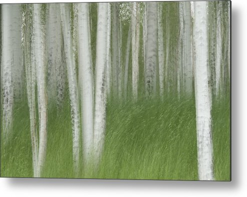 Colorado Metal Print featuring the photograph Wind In The Aspen by Nancy Myer