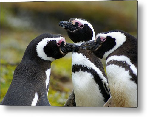 Penguin Metal Print featuring the photograph You May Kiss The Bride - Penguins by DerekTXFactor Creative