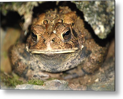 Toad.frogs.nature.cave.home.grounded.grumpy.misserable.lumpy.texture.greeting Card.eyes.rock.hole. Metal Print featuring the photograph Grumpy Toad by Kathy Gibbons