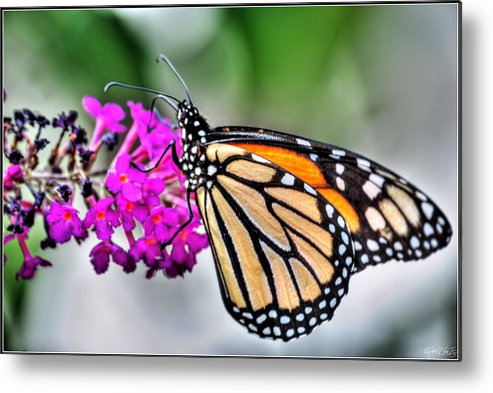 Metal Print featuring the photograph 004 Making Things New Via The Butterfly Series by Michael Frank Jr