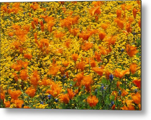 Fields Metal Print featuring the photograph California Poppies And Goldfields Dance by Jonathan Blair