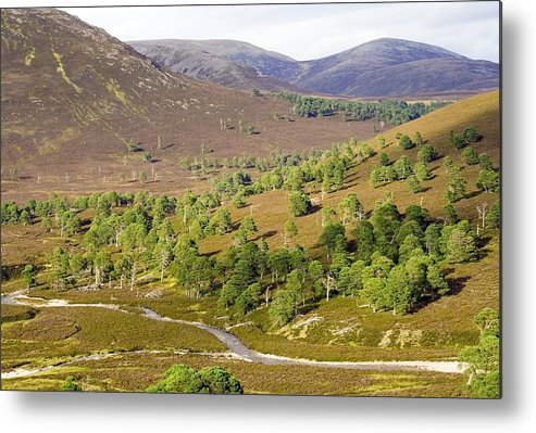 Scots Pine Metal Print featuring the photograph Cleared Scots Pine Forest by Duncan Shaw