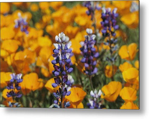North America Metal Print featuring the photograph Poppies And Lupine Flowers In A Santa by Marc Moritsch