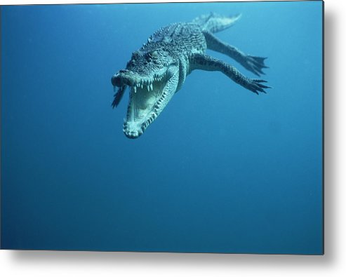 Mp Metal Print featuring the photograph Saltwater Crocodile Crocodylus Porosus by Mike Parry