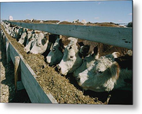 hereford Cattle Metal Print featuring the photograph Untitled by Joe Scherschel