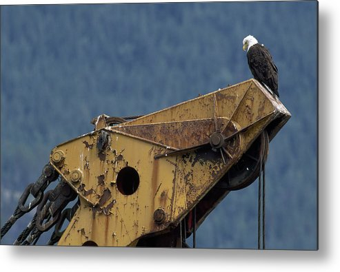 haines Metal Print featuring the photograph A Northern American Bald Eagle by Norbert Rosing