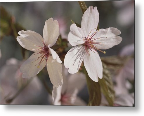 Scenes And Views Metal Print featuring the photograph Close View Of Cherry Blossoms by Darlyne A. Murawski