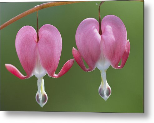 Plants Metal Print featuring the photograph Close View Of Dutchmans Breeches, Or by Darlyne A. Murawski