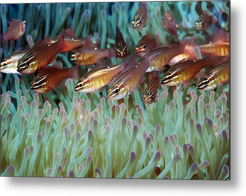 Apogon Moluccensis Metal Print featuring the photograph Moluccan Cardinalfish by Georgette Douwma