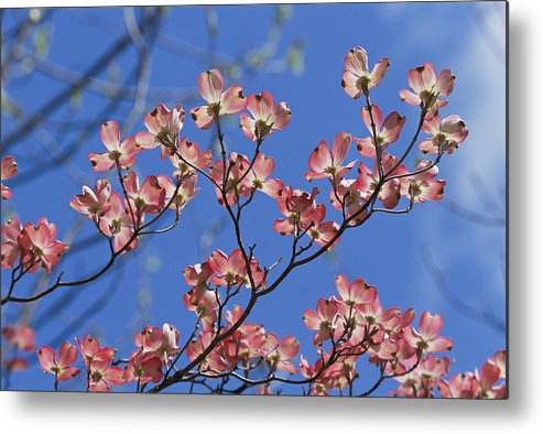 Plants Metal Print featuring the photograph Close View Of Pink Dogwood Blossoms by Darlyne A. Murawski