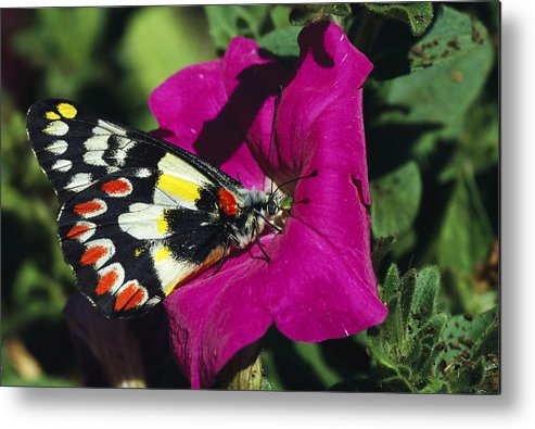 Australia Metal Print featuring the photograph A Butterfly Lands On A Pink Flower by Jonathan Blair