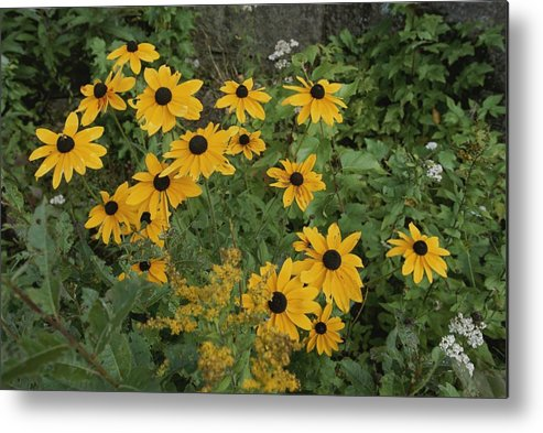 North America Metal Print featuring the photograph A Close View Of Black-eyed Susans by Michael S. Lewis
