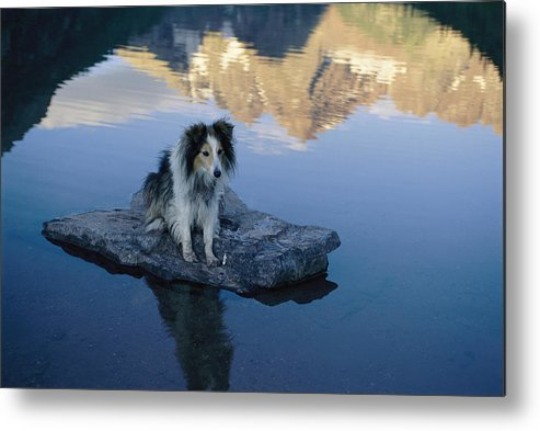North America Metal Print featuring the photograph A Collie Perches Itself On A Rock by Joel Sartore