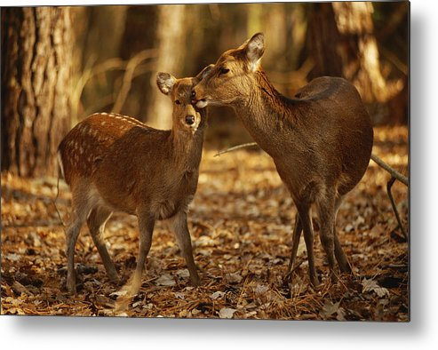 North America Metal Print featuring the photograph A Mother And Fawn Sika Deer by Raymond Gehman