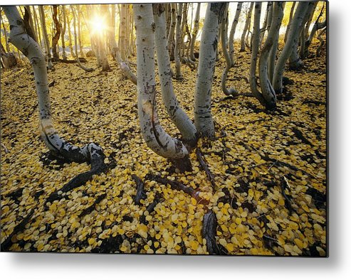 inyo National Forest Metal Print featuring the photograph Aspen Trees Stand Above A Carpet by Phil Schermeister
