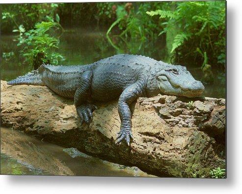 Gator Metal Print featuring the photograph Big Gator On A Log by Myrna Bradshaw