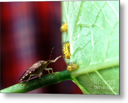 Mexican Bean Beetle Metal Print featuring the photograph Biocontrol Of Bean Beetle by Science Source