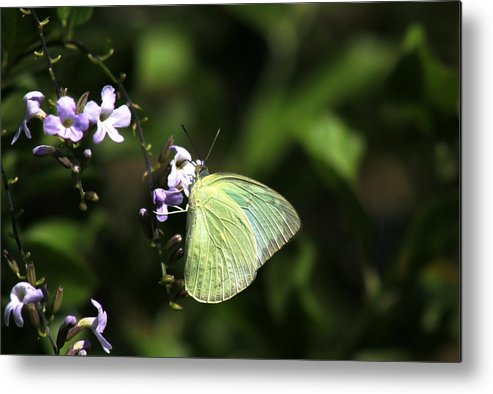 Butterfly Metal Print featuring the photograph Butterfly On Purple Flower by Ramabhadran Thirupattur