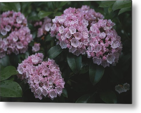 North America Metal Print featuring the photograph Close View Of Flowering Mountain Laurel by Darlyne A. Murawski