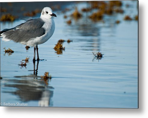 Seagull Metal Print featuring the photograph Contemplative by Barbara Shallue