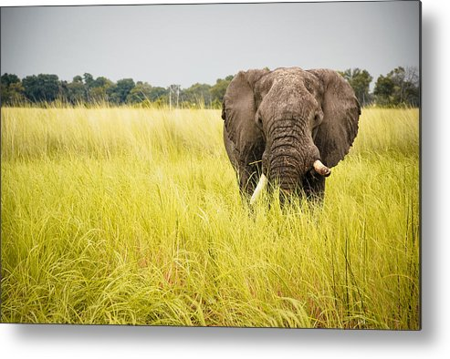 Horizontal Metal Print featuring the photograph Elephants Of Botswana by Tara Moayed