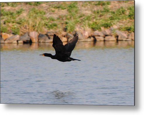Cormorant Metal Print featuring the photograph Flight 2 by Paulina Roybal