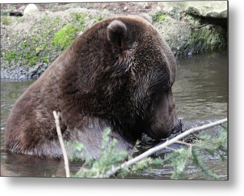 Northwest Trek Metal Print featuring the photograph Grizzley - 0006 by S and S Photo